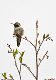 Broad-tailed Hummingbird Royalty Free Stock Images