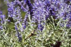Broad-tailed Hummingbird, Selasphorus platycercus Royalty Free Stock Images