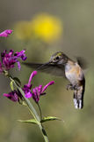 Broad-tailed Hummingbird, Selasphorus platycercus Royalty Free Stock Images