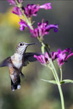 Broad-tailed Hummingbird, Selasphorus platycercus Stock Image
