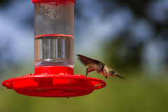 Broad-tailed Hummingbird, Selasphorus platycercus Royalty Free Stock Photos