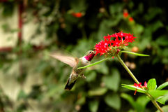 Broad-tailed hummingbird  (Selasphorus platycercus. ) collecting nectar Stock Photo