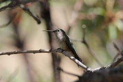 Broad-tailed Hummingbird Stock Image