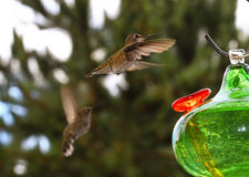 Broad-tailed Hummingbirds Stock Images