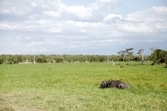 Broad view of a Wild African Buffalo relaxing in grassland Stock Photography