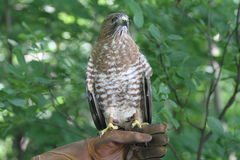 Broad-wing hawk on hand Stock Photography