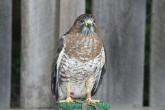 Broad-wing hawk on perch Royalty Free Stock Images
