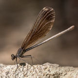 Broad-Winged Damselfly Stock Photos