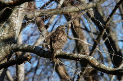 Broad-winged hawk. Rear view of Broad-winged hawk perched in bare branches of tree Royalty Free Stock Images