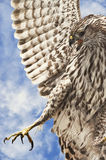 Broad-winged Hawk Stock Photos