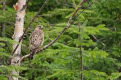 Broad-winged hawk Royalty Free Stock Image