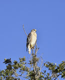 Broad-Winged Hawk Stock Images