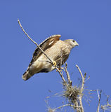 Broad-Winged Hawk Stock Photo