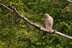 Broad-winged Hawk. On a branch royalty free stock image