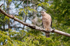 Broad-winged Hawk. On a branch royalty free stock photography