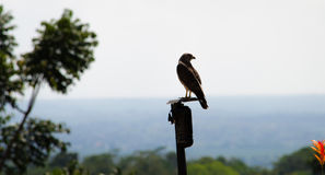 Broad-Winged Hawk (Buteo Platypterus) Costa Rica Stock Photography