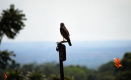 Broad-Winged Hawk (Buteo Platypterus) Costa Rica Royalty Free Stock Images