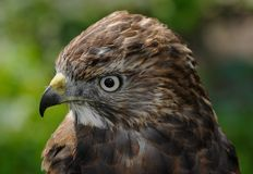 Broad-winged Hawk (Buteo platypterus) Head Royalty Free Stock Images