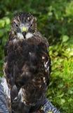 Broad-winged Hawk (Buteo platypterus) on Perch Stock Photography
