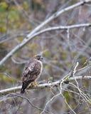 Broad-winged hawk Royalty Free Stock Photos