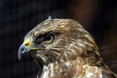 Broad-winged Hawk Stock Photography