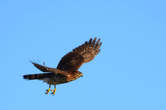 Broad-winged hawk in flight Royalty Free Stock Photos