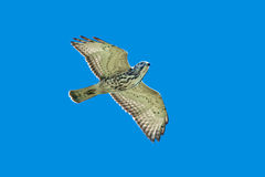 Broad-winged Hawk Royalty Free Stock Photo