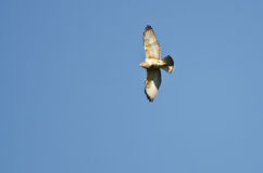 Broad-Winged Hawk Flying in a Blue Sky Royalty Free Stock Image