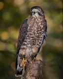 Broad Winged Hawk. A broad winged hawk perched on a tree stump Royalty Free Stock Photography