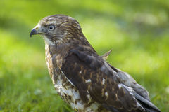 Broad-winged Hawk Profile. Profile of a Broad-winged Hawk with beak highlighted by the sun against a green background stock images