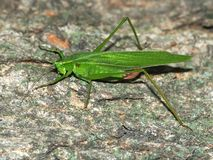 Broad-winged Katydid (Microcentrum rhombifolium) Royalty Free Stock Photo