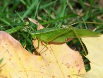 Broad-winged Katydid (Microcentrum rhombifolium). Sits on a leaf in Will County, Illinois Stock Images
