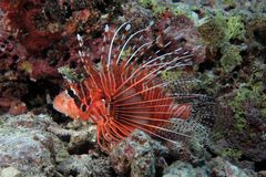 Broadbarred firefish Stock Image