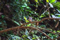 Broadbil coloré d'argent-breasted d'oiseau Photo stock