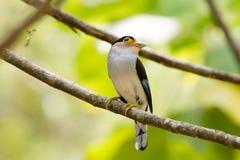 Broadbil coloré d'argent-breasted d'oiseau Photos stock