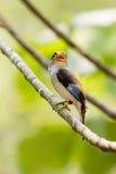 Broadbil coloré d'argent-breasted d'oiseau Photo libre de droits