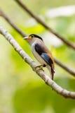 Broadbil coloré d'argent-breasted d'oiseau Photographie stock libre de droits
