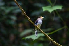 Broadbil coloré d'argent-breasted d'oiseau Images stock