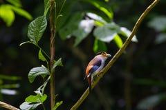 Broadbil coloré d'argent-breasted d'oiseau Photos libres de droits