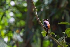 Broadbil coloré d'argent-breasted d'oiseau Images libres de droits