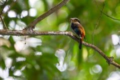 Broadbil coloré d'argent-breasted d'oiseau Photographie stock