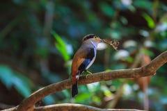 Broadbil colorido da prata-breasted do pássaro Fotografia de Stock Royalty Free