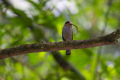 Broadbil colorido da prata-breasted do pássaro Foto de Stock Royalty Free