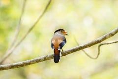 Broadbil colorido de la plata-breasted del pájaro Foto de archivo libre de regalías