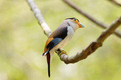 Broadbil colorido de la plata-breasted del pájaro Fotografía de archivo