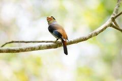 Broadbil colorido de la plata-breasted del pájaro Imágenes de archivo libres de regalías