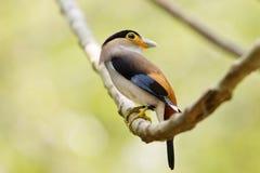 Broadbil colorido de la plata-breasted del pájaro Fotografía de archivo libre de regalías