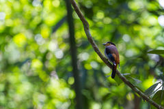 Broadbil colorido de la plata-breasted del pájaro Foto de archivo