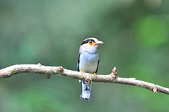 Broadbill bird Stock Images