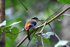 broadbill breasted srebro Fotografia Royalty Free